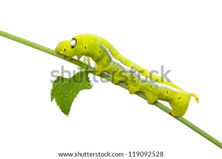 Green caterpillar on white background