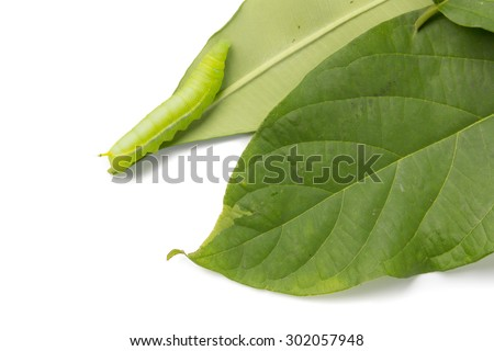 green caterpillar worm on leafs, isolated on white background
