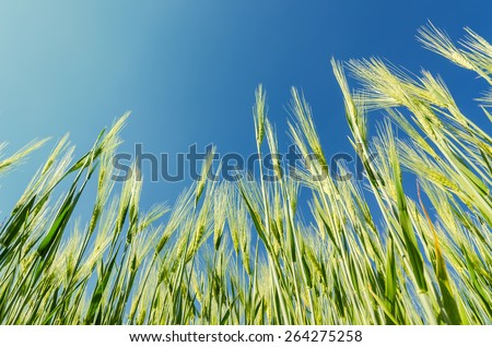 green cereal plant under deep blue sky - stock photo