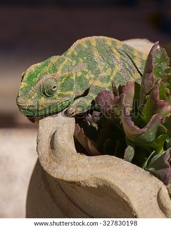 Green Chameleon lizard on the flower pots - stock photo