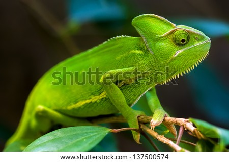 Green chameleon on a tree. - stock photo