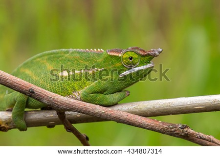 Green chameleon siting on the branch, Madagascar