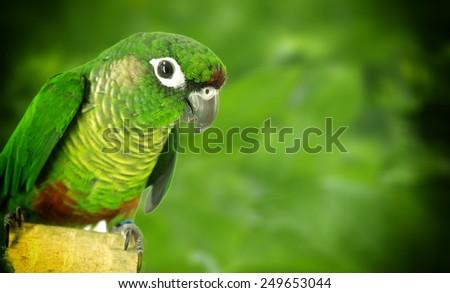 Green Cheek Conure - stock photo