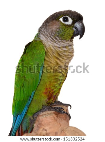 Green Cheek Conure. Isolated parrot