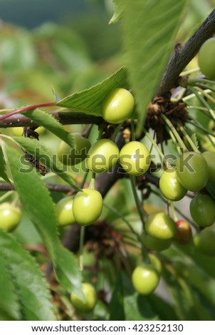Green cherries on the tree