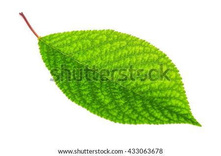 green cherry leaf on white background - stock photo