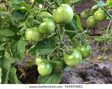 Green cherry tomatoes.