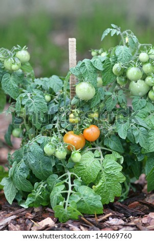 Green cherry tomatoes growing in the garden - stock photo