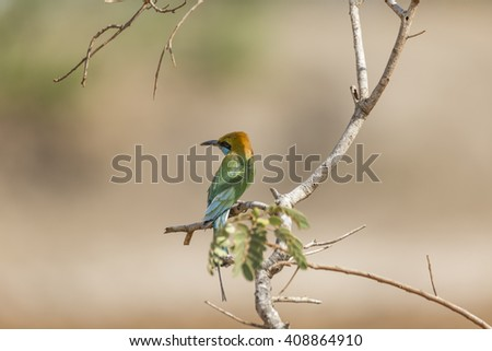 Green Chestnut Bee-Eater Isolated - stock photo