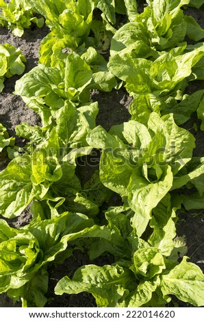 Green chicory plants in the organic vegetable garden Groentenhof in Leidschendam in the Netherlands. - stock photo