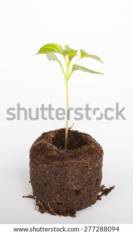 Green chili seedling in potting soil with a white background - stock photo