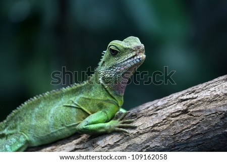 Green Chinese Water Dragon