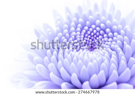 green chrysanthemum isolated on a white background - stock photo