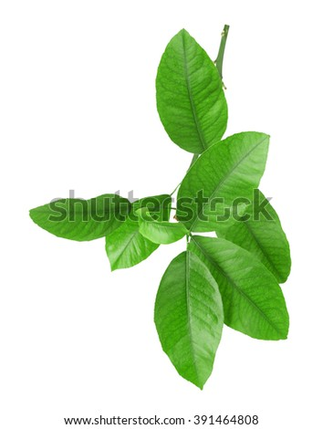 Green citrus leaves isolated on white - stock photo
