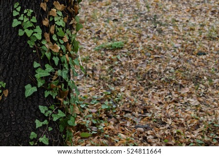 Green climber vine on tree trunk and forest floor with fallen brown leaves. Autumn nature background.