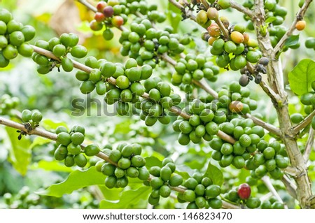 green coffee. - stock photo