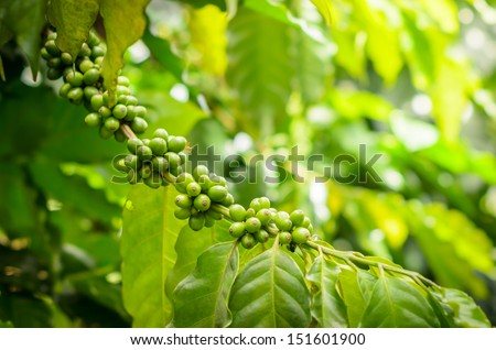 Green Coffee Bean on Tree - stock photo