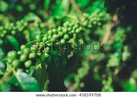 Green coffee beans, Green coffee beans growing on the branch.Selective focus.  - stock photo