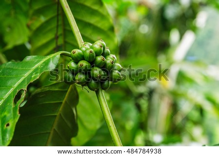 Green coffee beans growing on the  branch in area agriculture