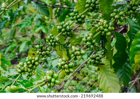 Green coffee beans growing on the branch in Chiang Mai ,Thailand - stock photo