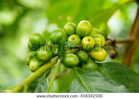 Green coffee beans growing on the branch in  Thailand - stock photo