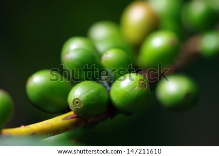green coffee beans on the branch - stock photo