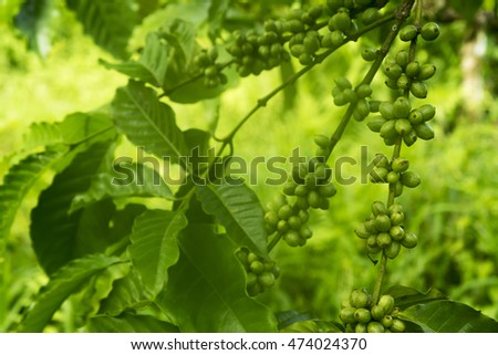 Green coffee beans on the tree branch