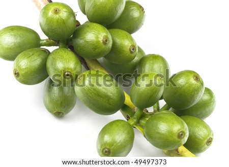 Green coffee before it is ripe, still growing, isolated on white, macro lens used. - stock photo