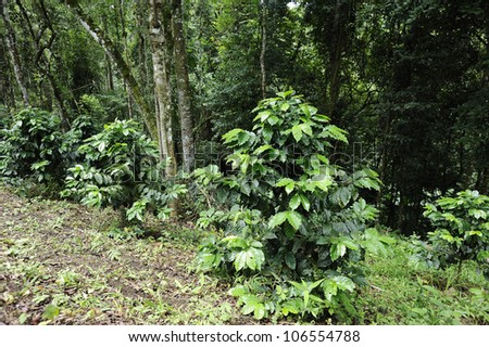 Green coffee - coffee trees - stock photo