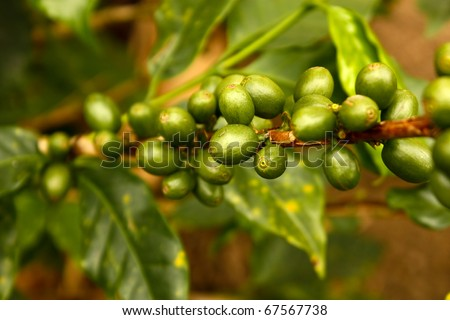 Green coffee. Colombia. Coffee beans, maturing. Colombian plantations, between mountains of the Cordillera Central, in Colombia. Zone of high quality coffee, - stock photo