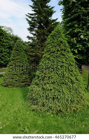 Green Cone-Shaped Spruce Trees