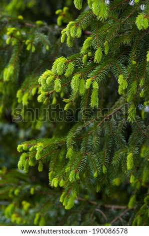 Green coniferous tree branches - stock photo