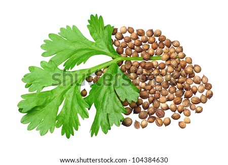 Green coriander leaves and grains closeup isolated on white