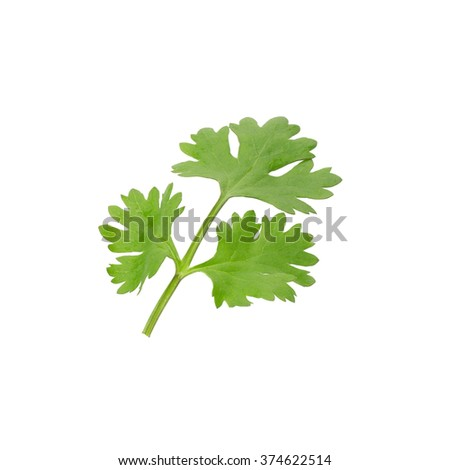 Green coriander leaves close-up on white.