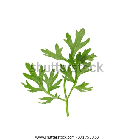 Green coriander leaves close-up on white. - stock photo