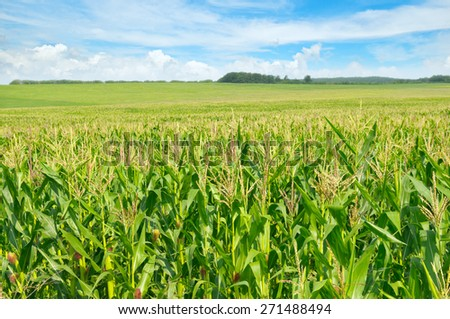 green corn field and blue sky - stock photo