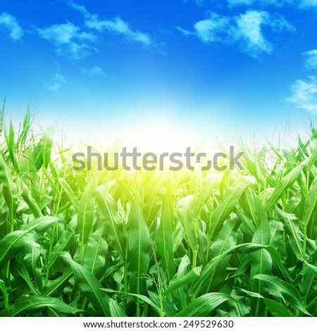 Green corn field,blue sky and sunlight. - stock photo