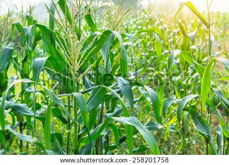 Green corn field growing in the farm - stock photo