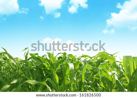 Green corn field over blue sky.  - stock photo