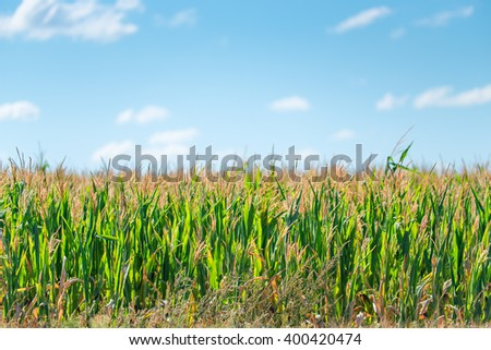 green corn growing in a field on a sunny summer day