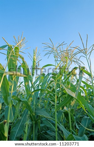 Green corn plants and clear blue sky - stock photo