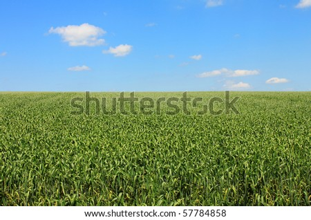 green cornfield blue sky and white clouds