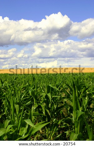 Green cornfield in the foreground, a golden wheat field in the middle, and blue skies. - stock photo