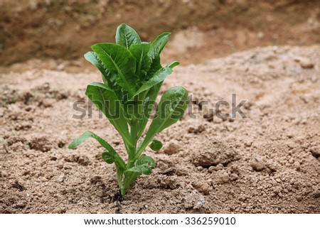 Green cos in hydroponic farm - stock photo