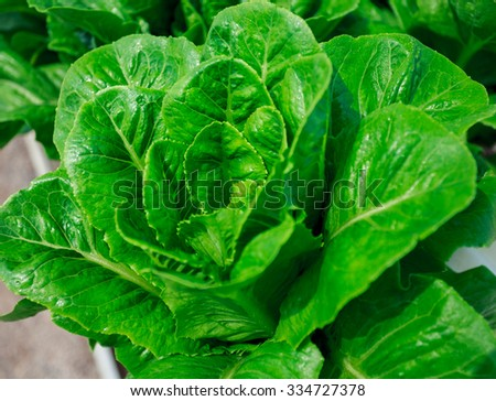 Green cos lettuce / Butter head / Red Oak- hydroponics vegetable farm in Thailand. - stock photo