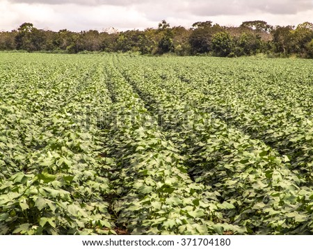 Green cotton field in Brazil with flowers - stock photo