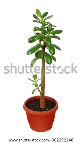 green Crassula plant in flowerpot isolated on white - stock photo
