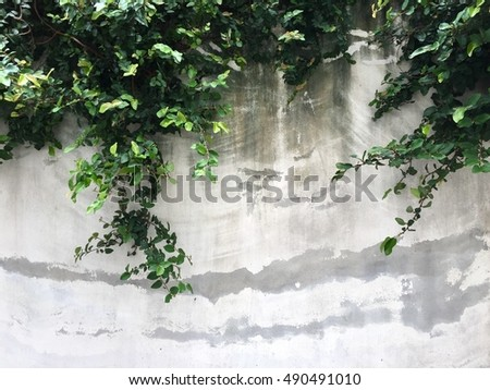Green Creeper Plant on old cement wall background with copyspace