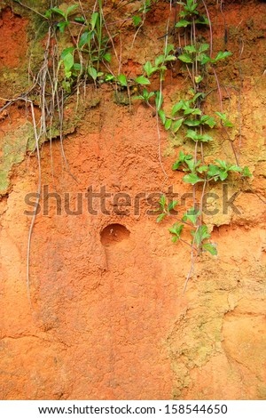 Green creeper plant on soil wall - stock photo