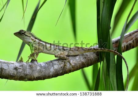 Green crested lizard, black face lizard, tree lizard,Boulenger Long headed Lizard, Pseudocalotes microlepis, masked spiny lizard - stock photo